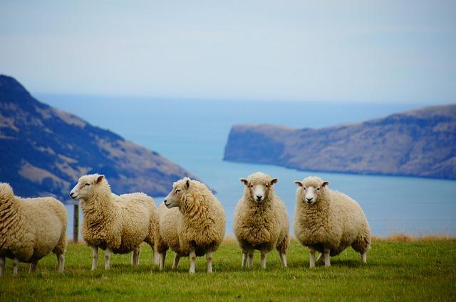 ovce v horách