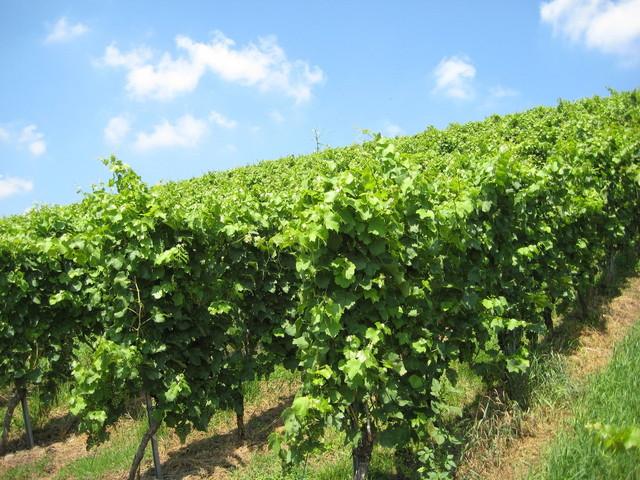 mikulovský vinohrad